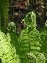 Kamchatka Fern